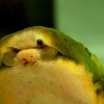 オーストラリア肺魚-1
