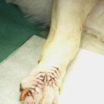犬の手の腫瘍-4