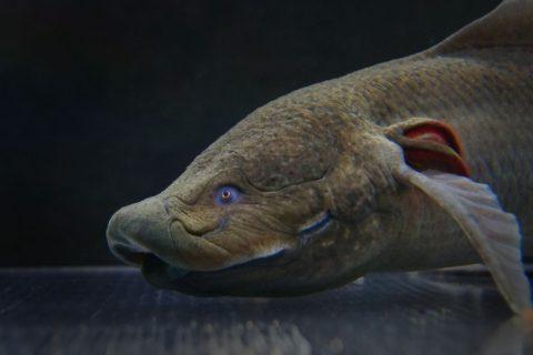 protopterus-amphibius
